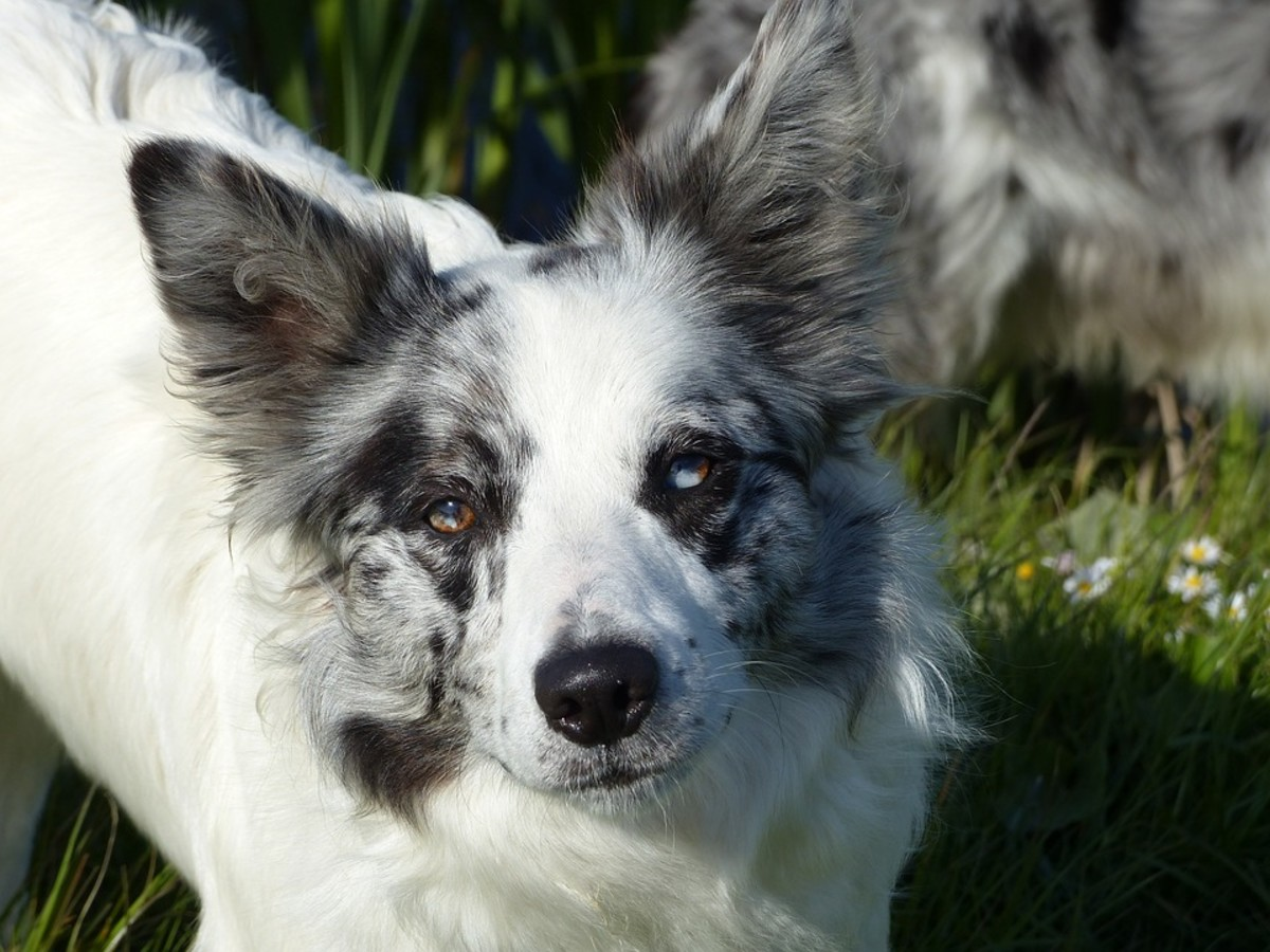 This is what a double-merle collie might look like. The body is all white, while the colour areas of the head display the merle pattern.