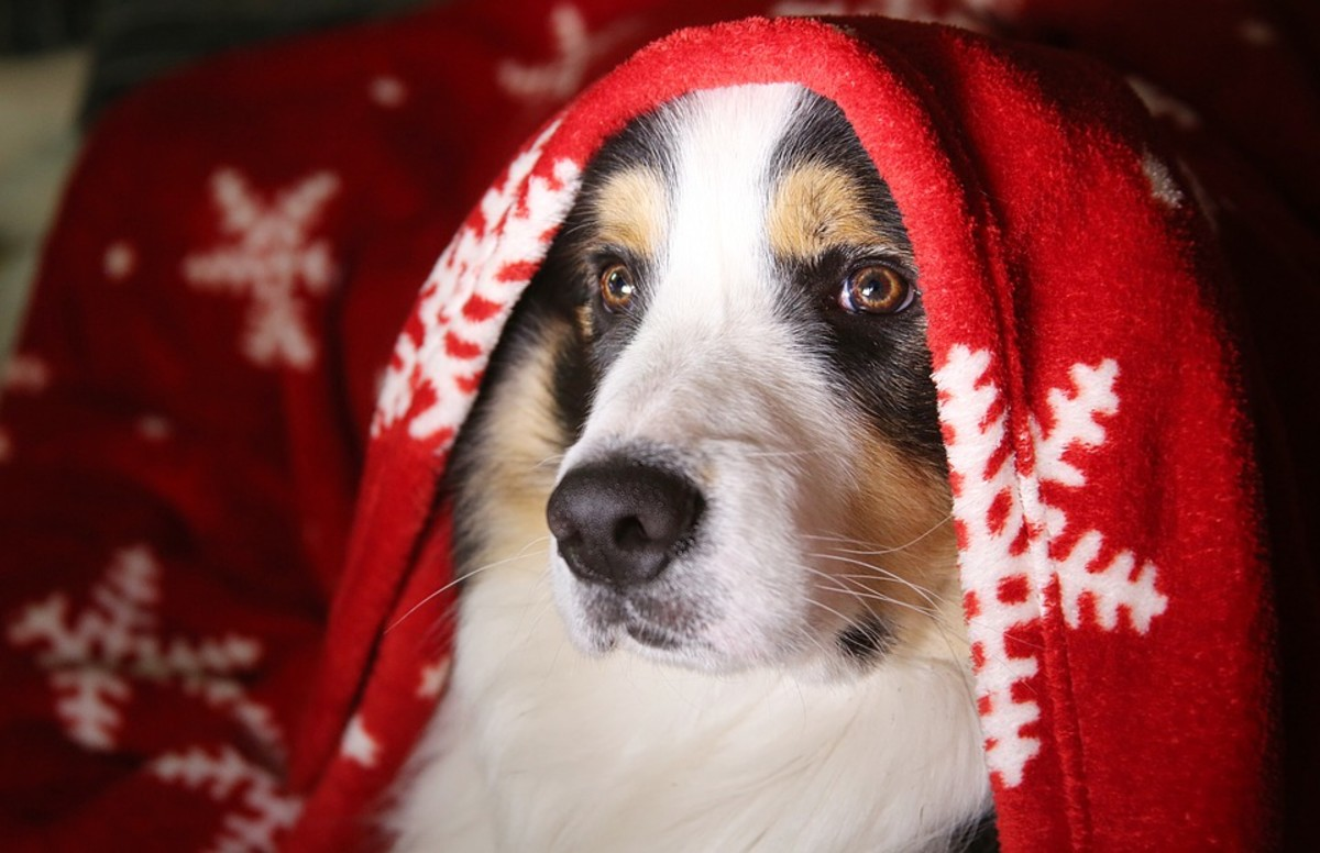 This cozy chap is a good example of a tricolour collie. Note the identical way in which the tan markings appear on the left and right side.