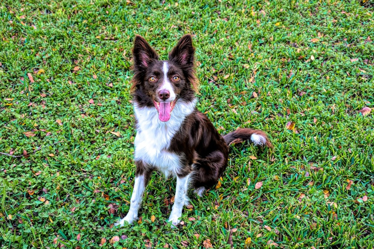 Chocolate collies never fail to attract attention with their deep and glossy colour.