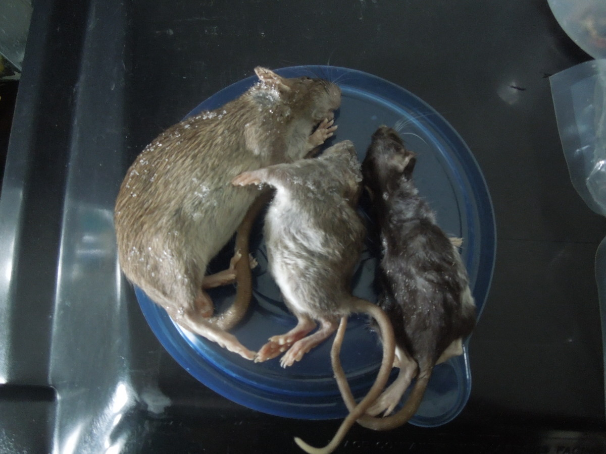 "Frozen rats ""natural"" coloration"