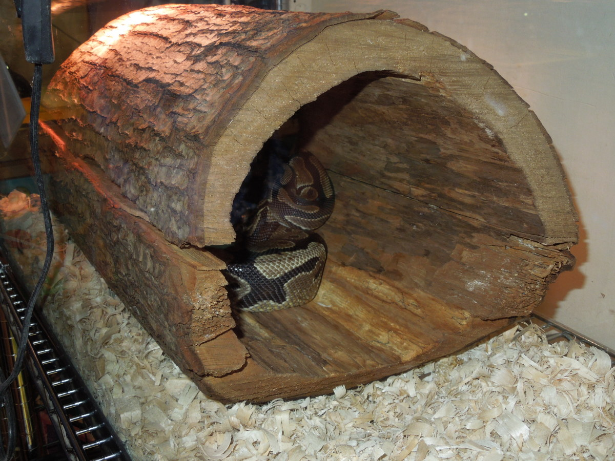 This ball python may be overly exposed in this large, wooden hide.