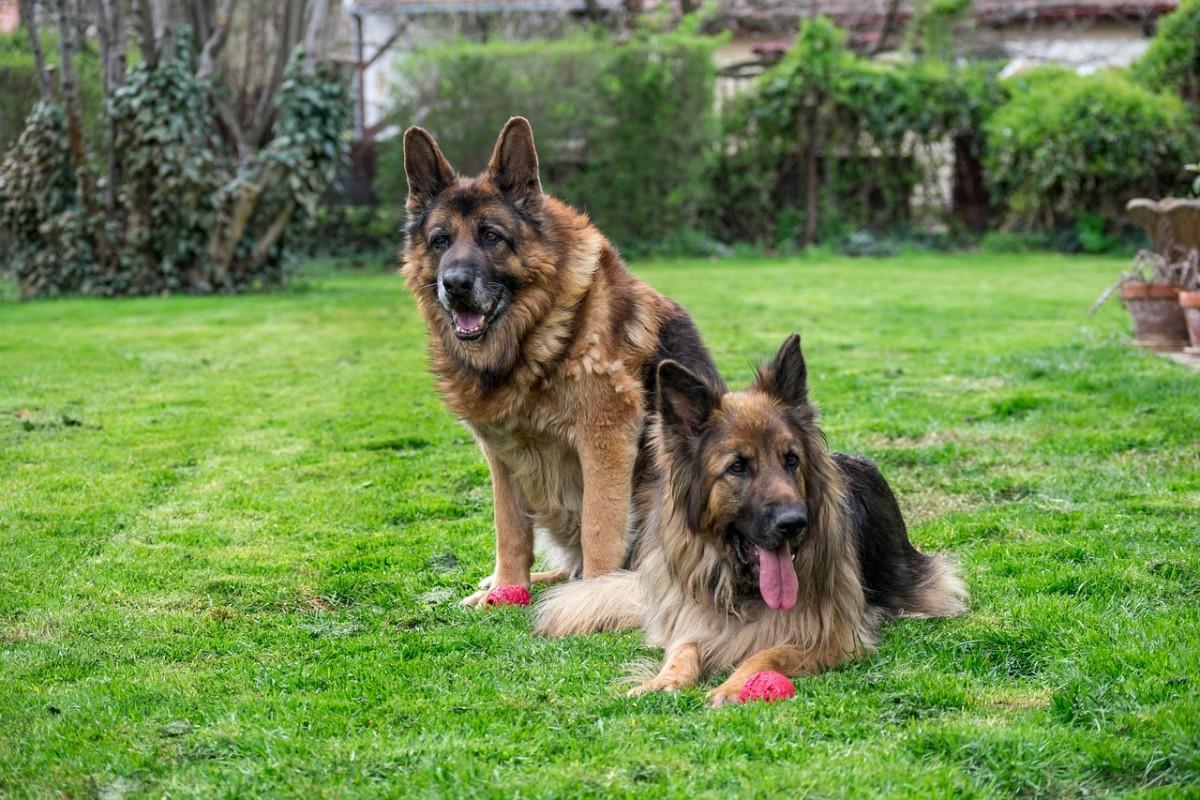german-shepherds-and-ticks