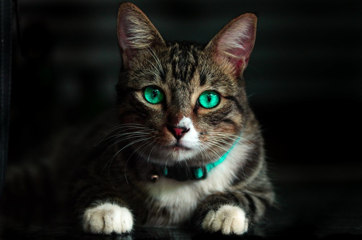 Mischievous cat with green eyes.