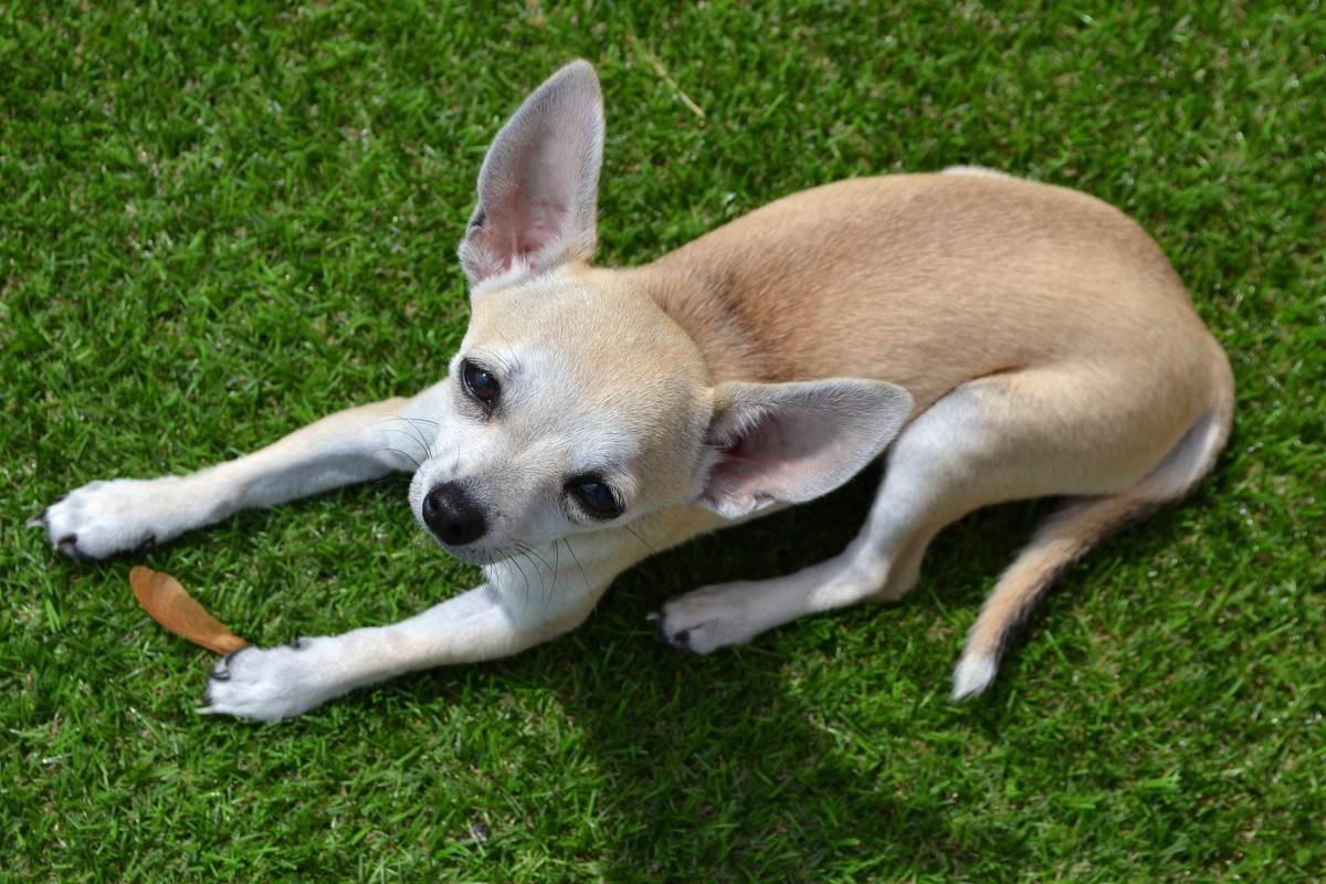 Chihuahuas are one of the top breeds predisposed to patellar luxations. They often present with severe grades (3 and 4).