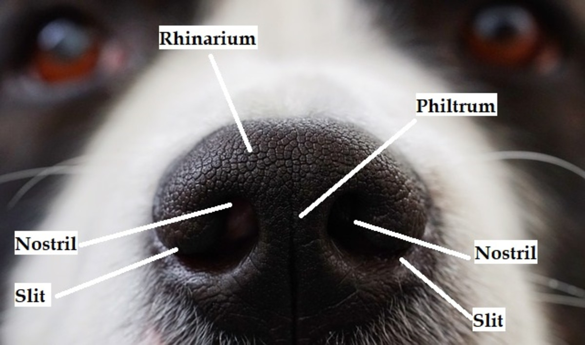 What's the Purpose of a Dog's Philtrum?