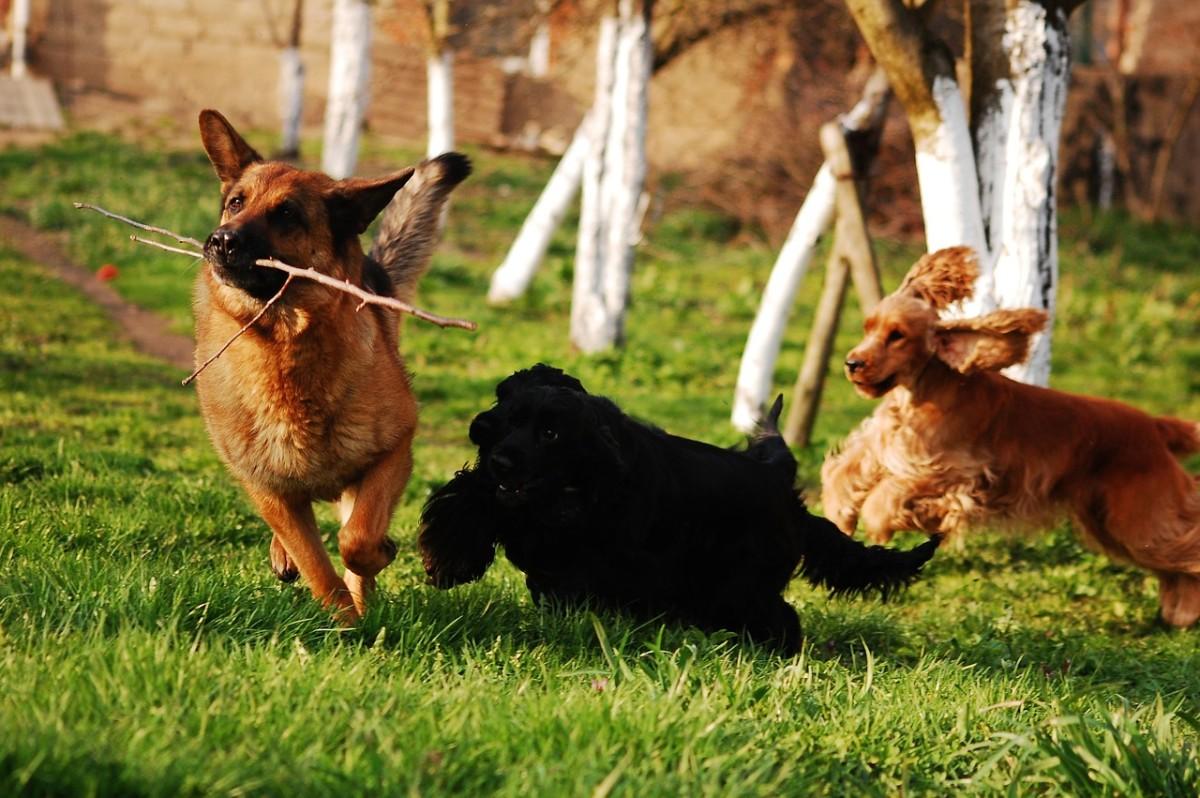 how-to-start-german-shepherd-obedience-training