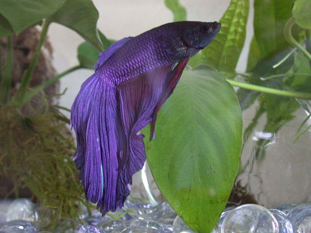 Some bettas may rest on plant leaves.