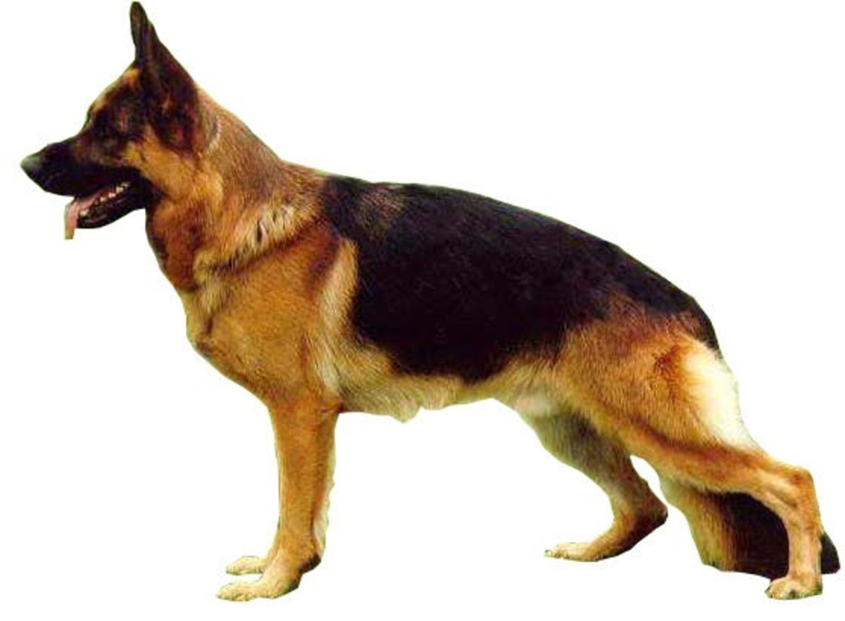 A German Shepherd with a sloping back.