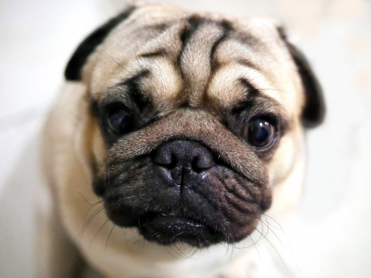 The Pug's short skull causes many breathing issues.