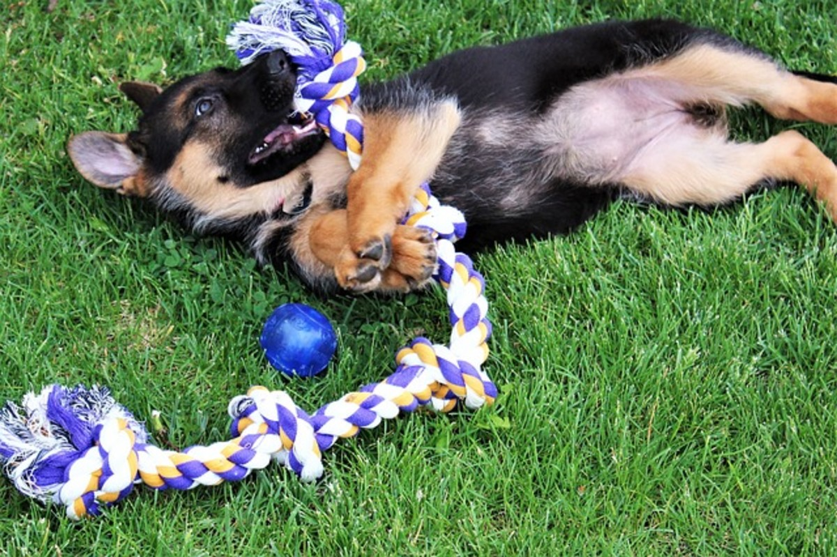 German Shepherd Puppy Playing with Toys