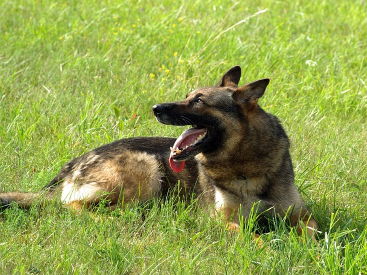 German Shepherd with tongue out