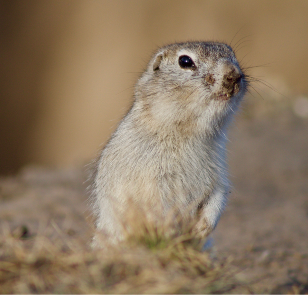 Coyotes offer free rodent control as they naturally predate on ground squirrels, gophers, etc.