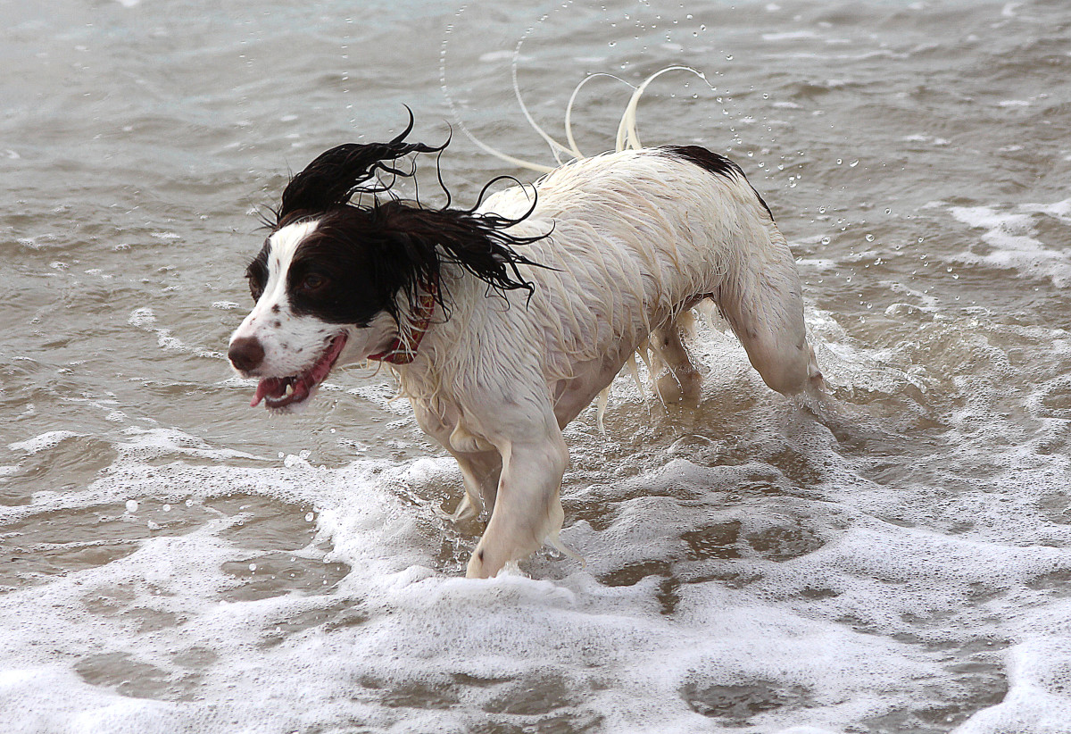Leptospirosis cannot be acquired from salt water, but it can be acquired from carcasses or stagnant water at the beach.