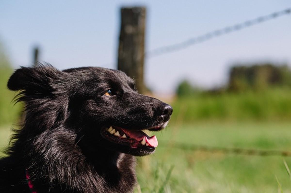 Black Dog and Fence