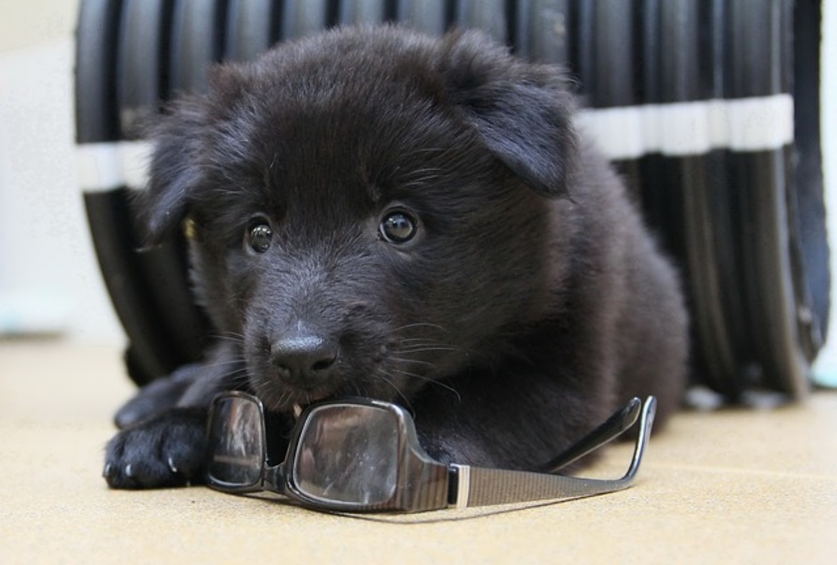 Black Puppy and Glasses