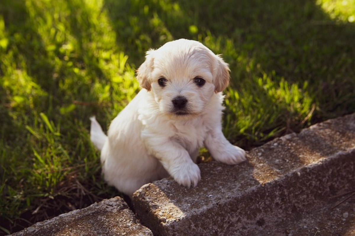 White Puppy Looking Out