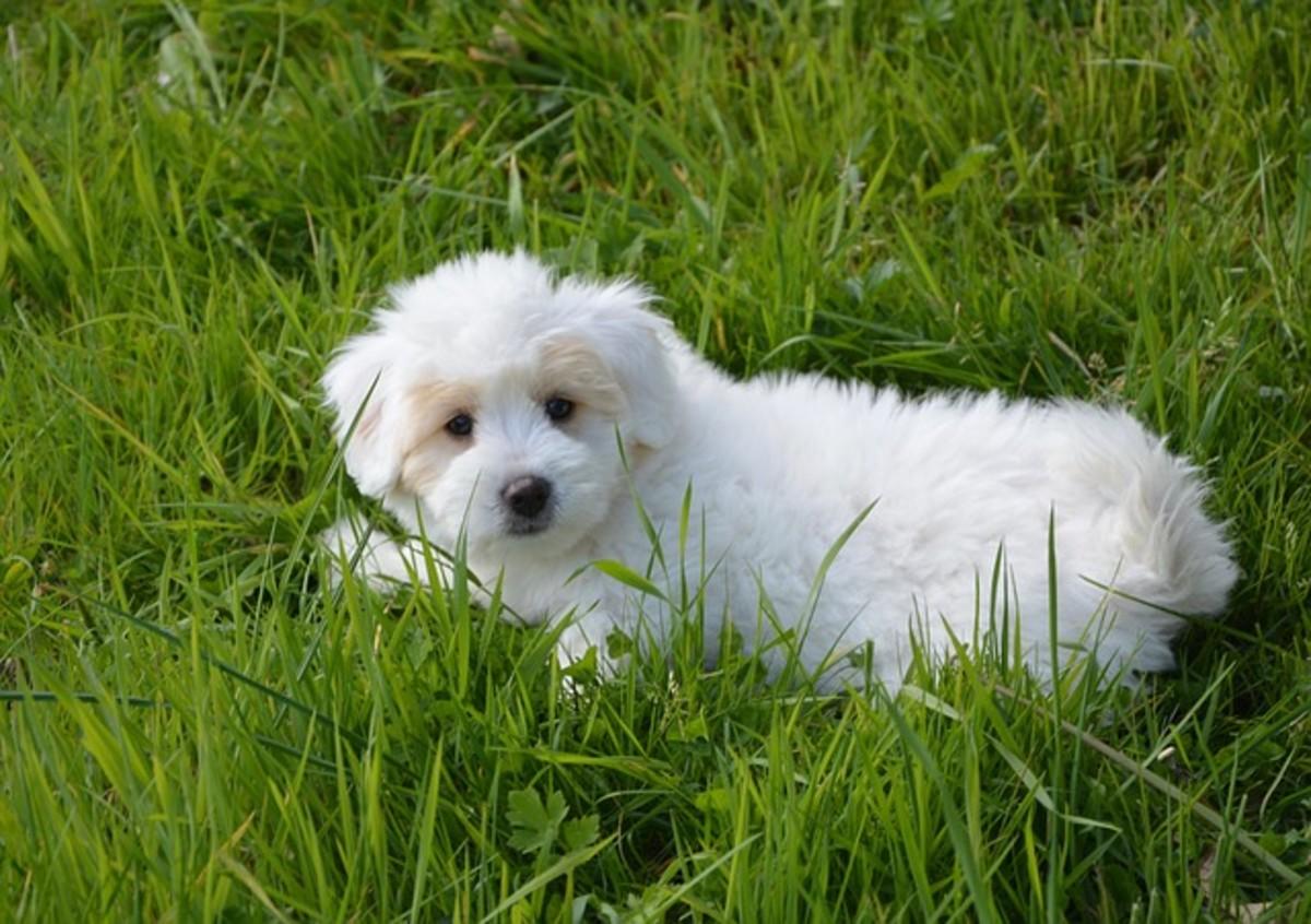 Cottonball White Dog
