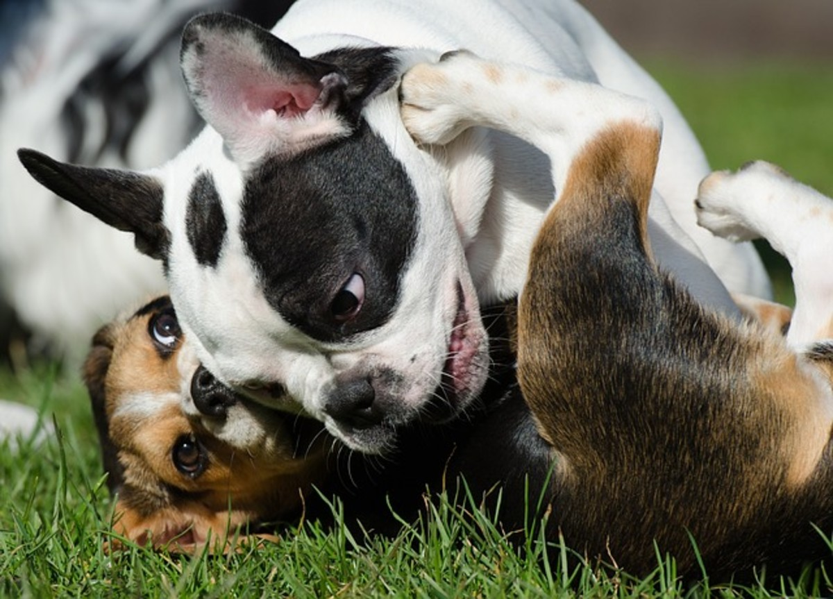 Puppies playing together