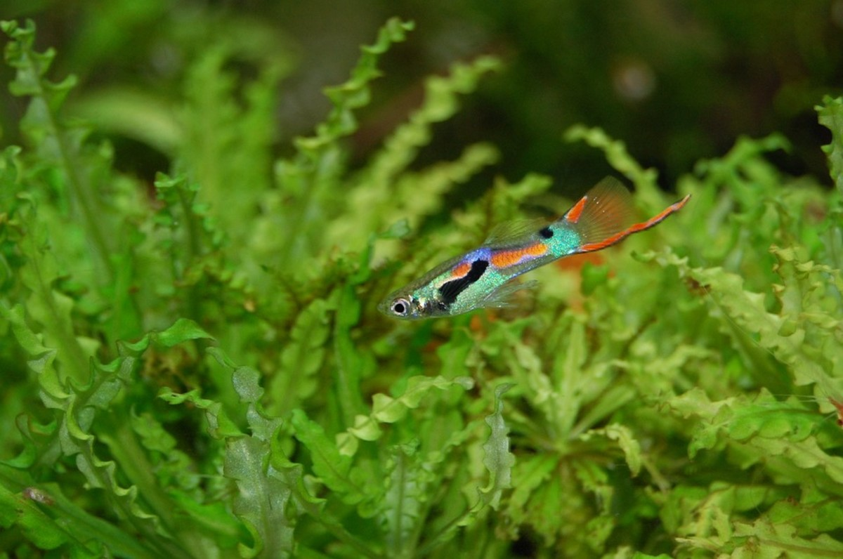 Guppies make excellent starter fish because they are remarkably tough and adaptable.