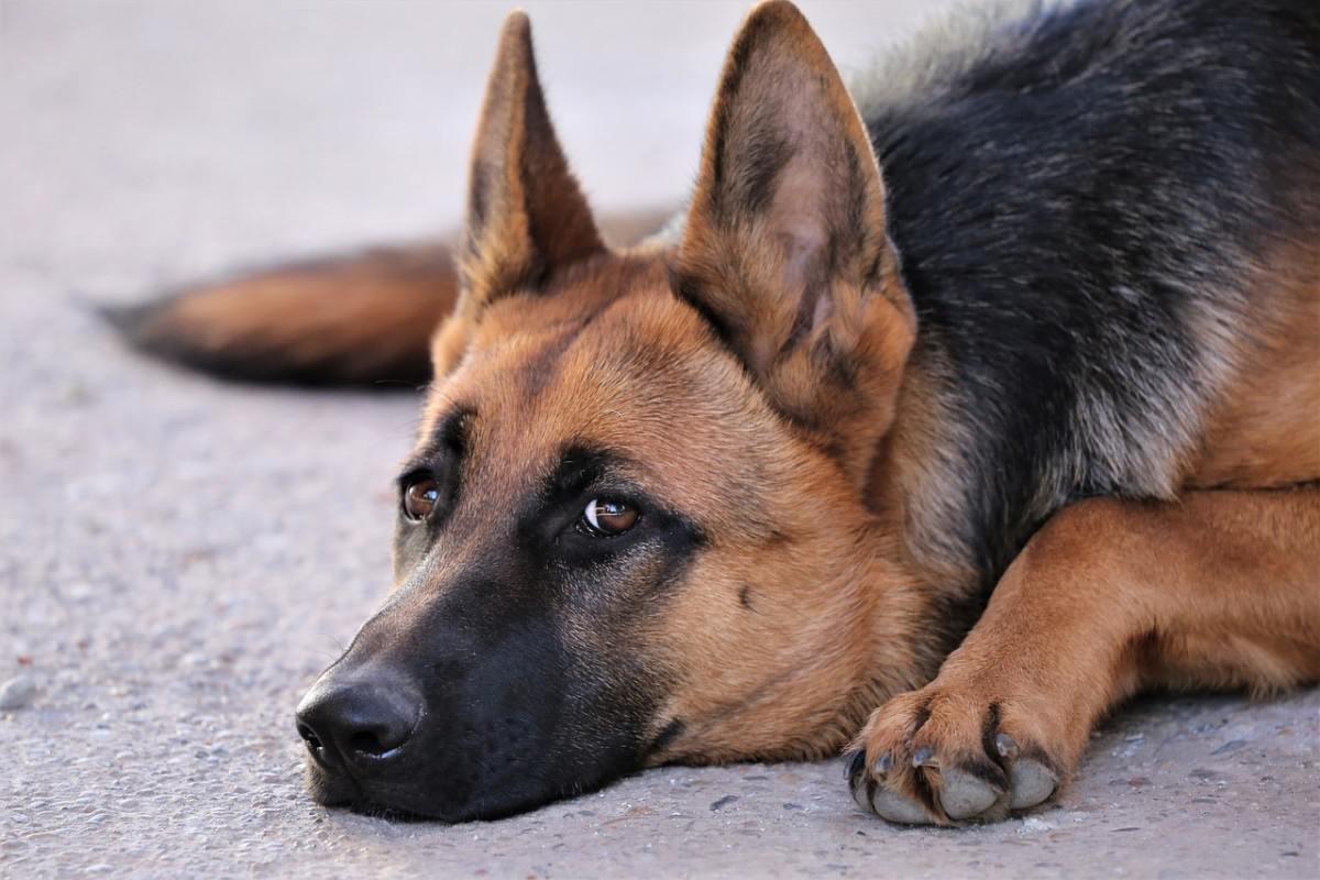 Your German Shepard might be dealing with a painful urethra.