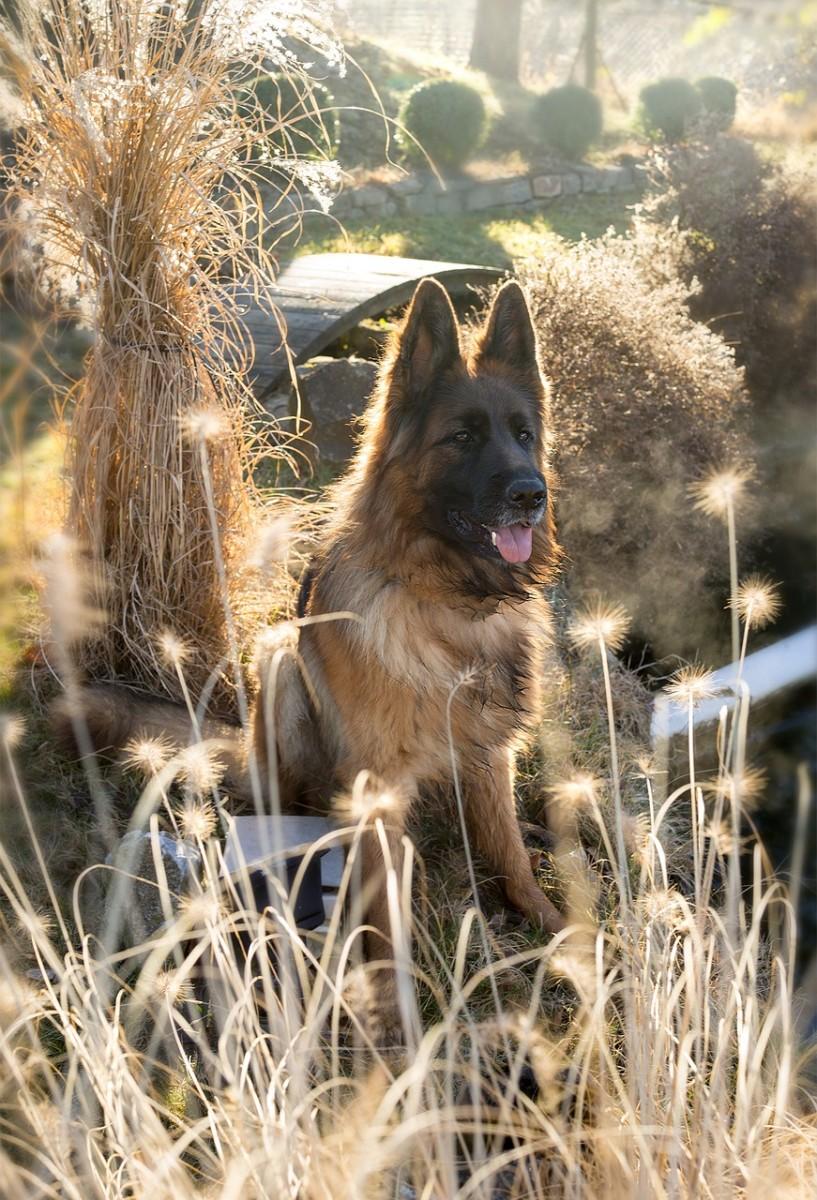 german-shepherd-height-and-weight
