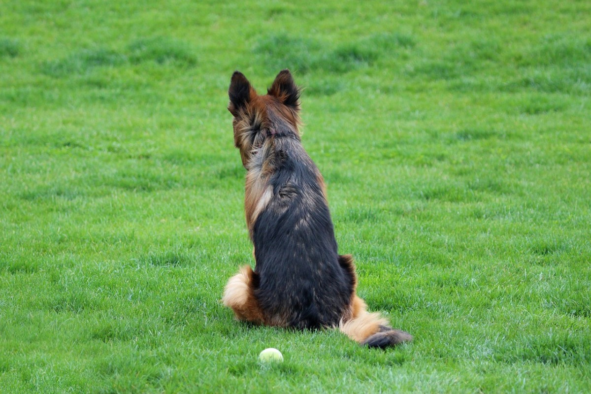 German Shepards require lots of time and energy!