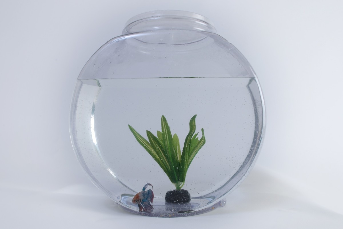 This betta fish is clearly unhappy in this bowl.