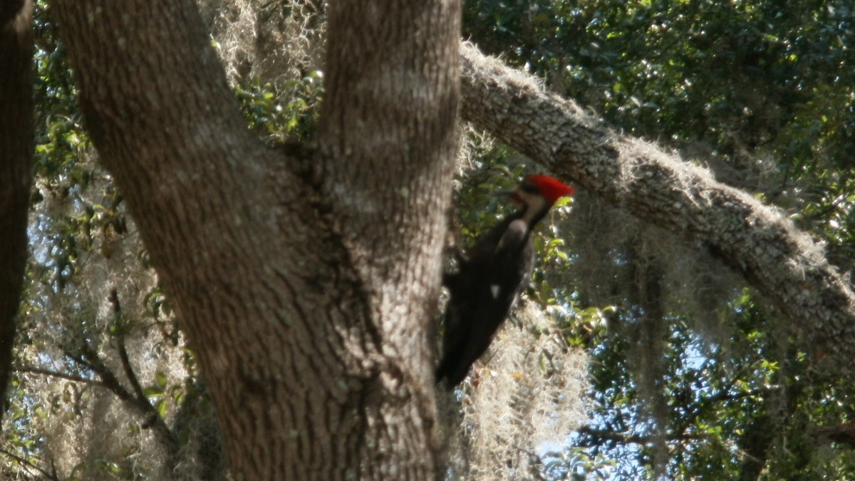 Male Pileated Woodpecker in my Camphor tree