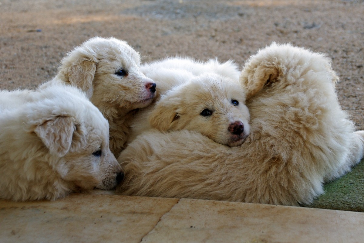 Abruzzese Sheepdog puppies are bonded early with their flock.