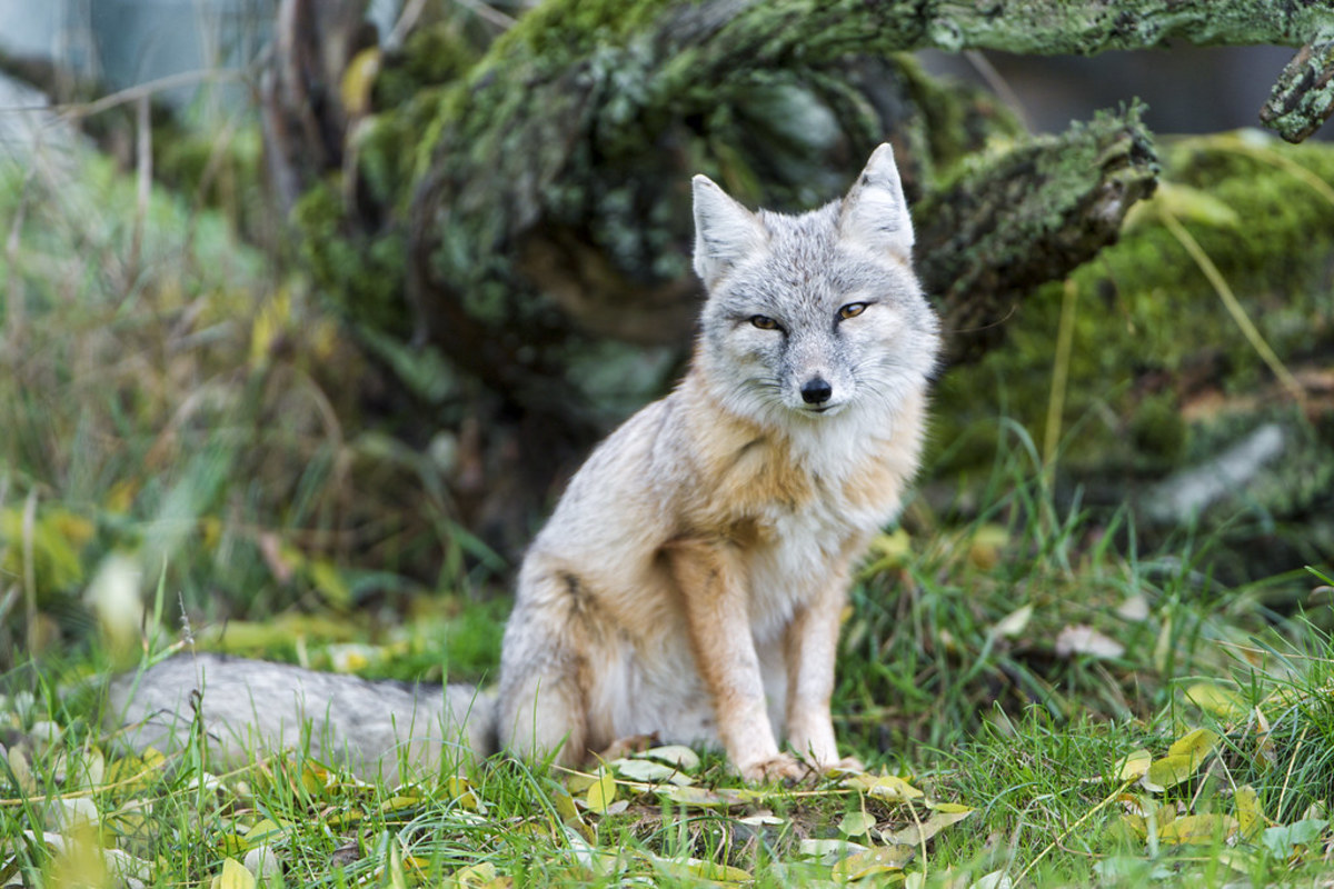 types-of-foxes-people-keep-as-pets-and-how-to-care-for-them