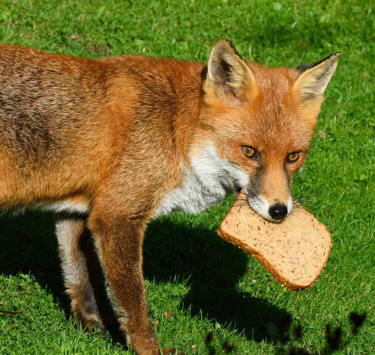 Hungry Red Fox