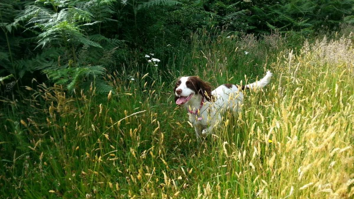 Dogs running through long grass may stumble on an adder