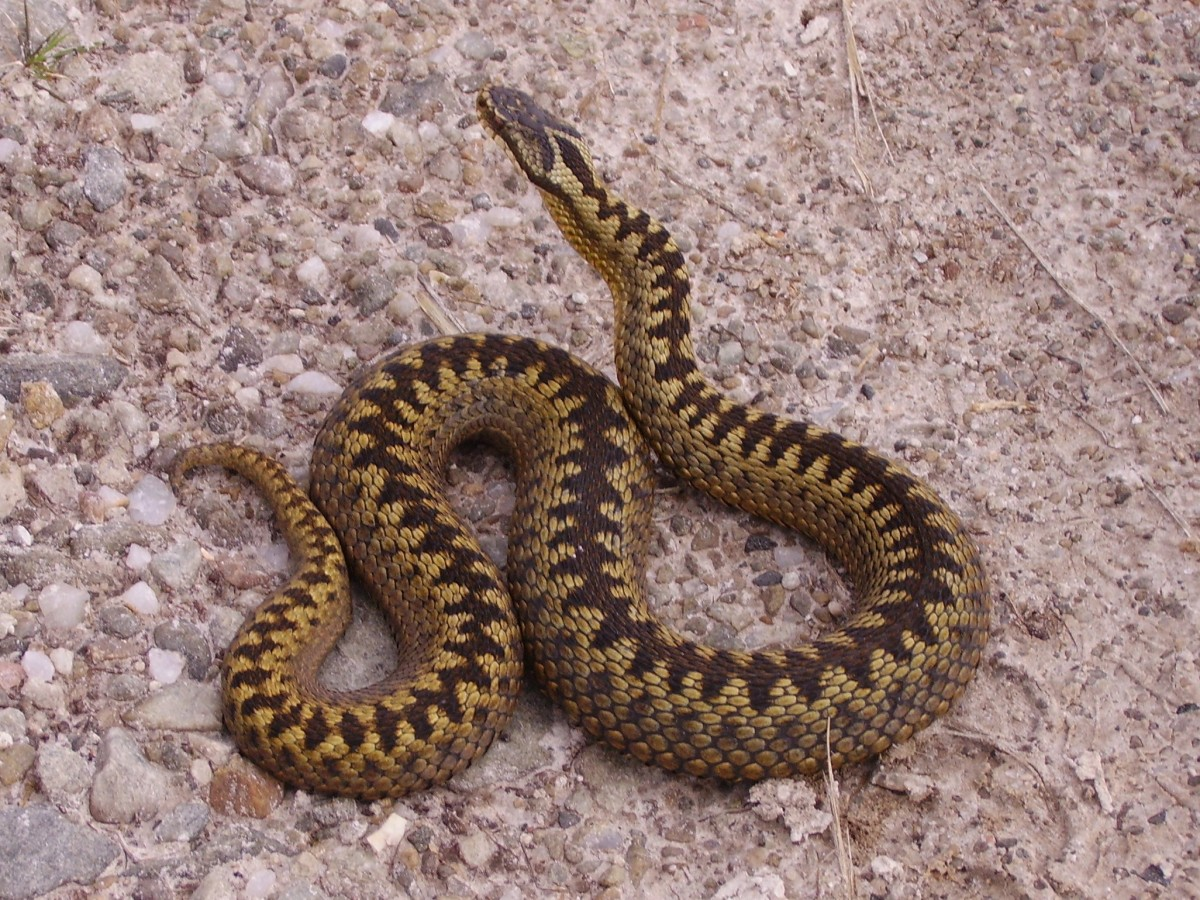 A beautiful female adder, showing the distinctive zig-zag markings