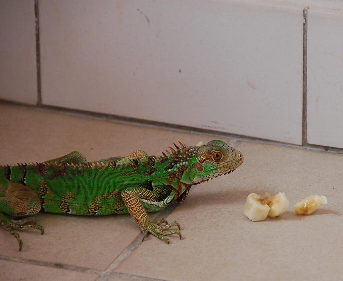 Iguanas usually love bananas.