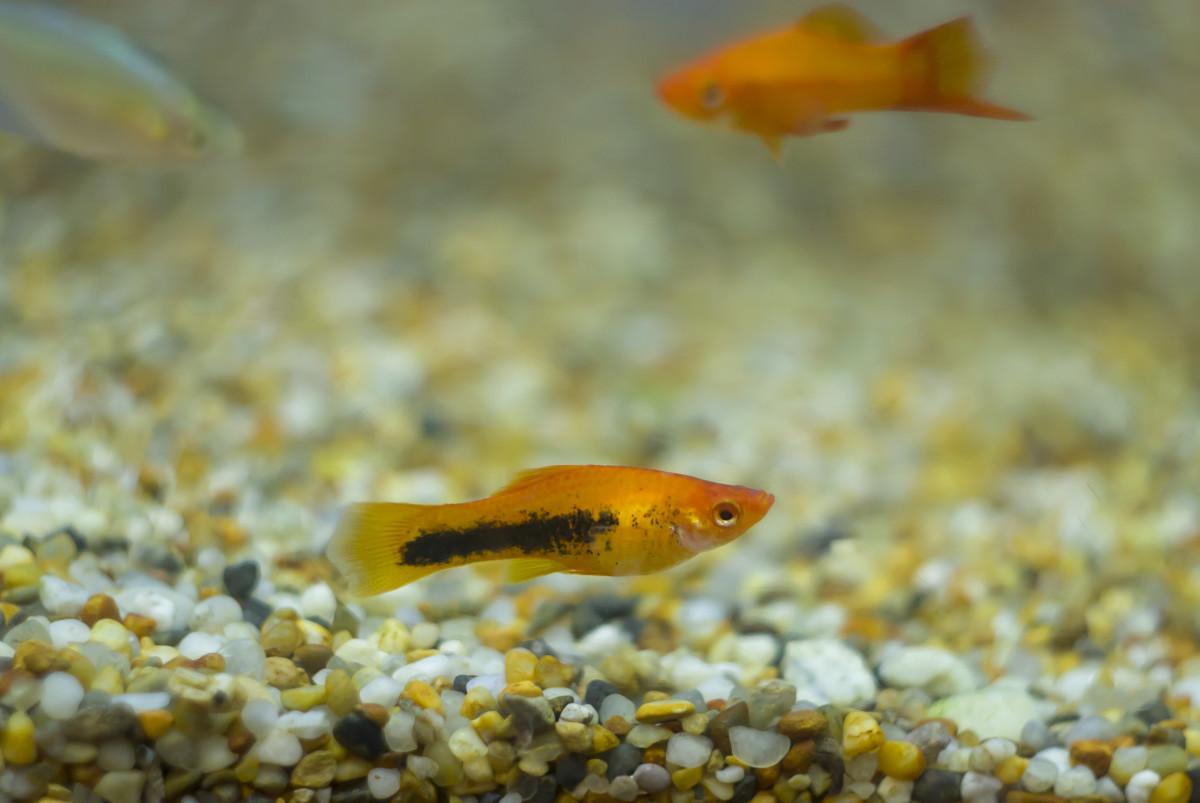 aquarium-cleaning-fish