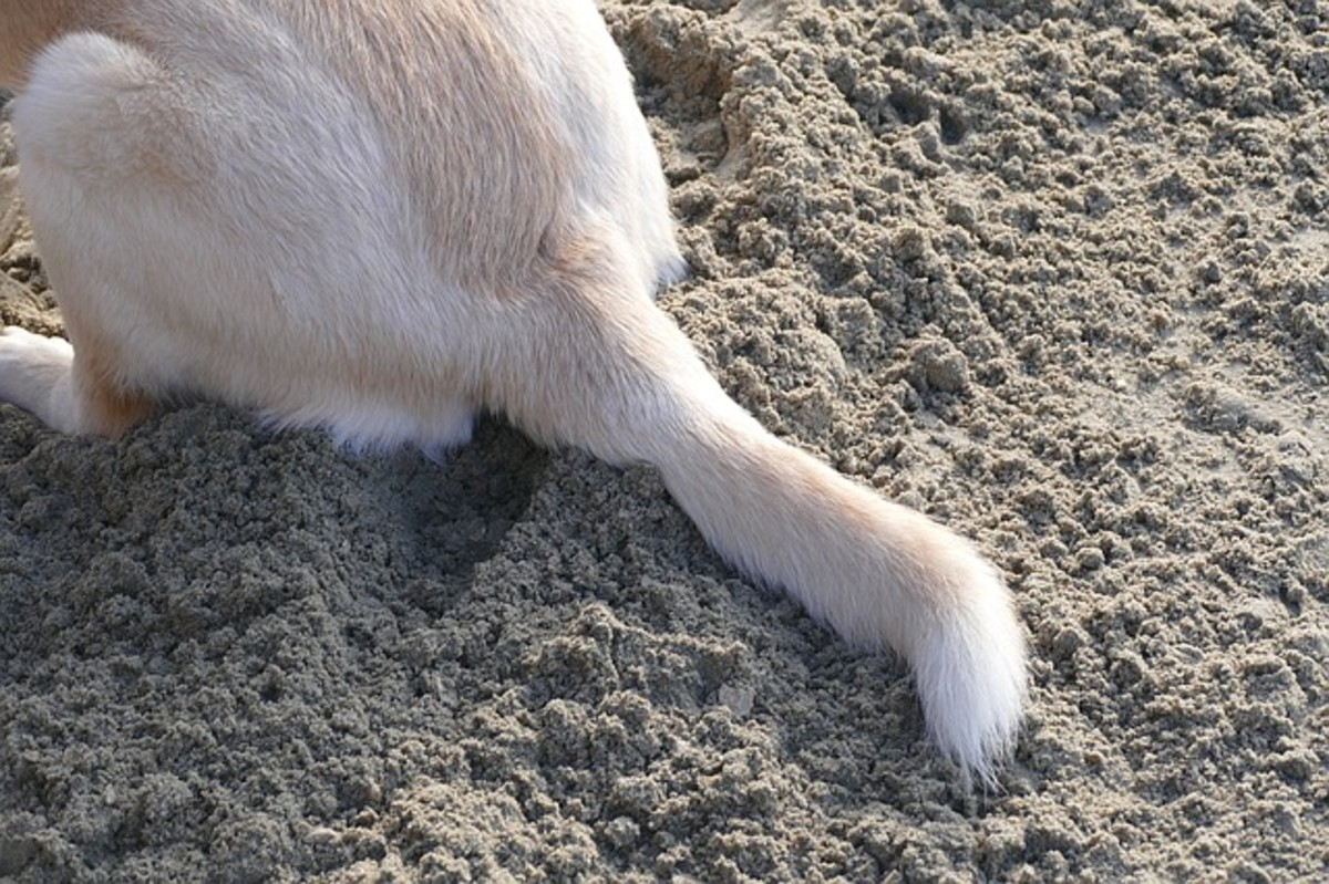 A dog's tail is an extension of the spine.