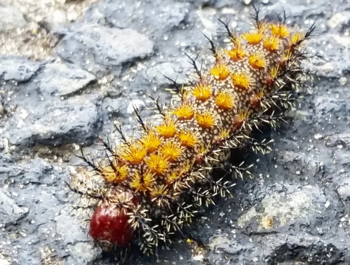 The Buck Moth Caterpillar, Genus Hemileuca: The rosette spines of the buck moth caterpillar could give your dog or cat a nasty sting