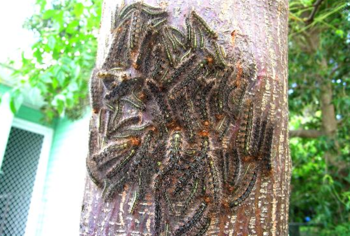 A Mass of Spined Caterpillars on a Tree Trunk