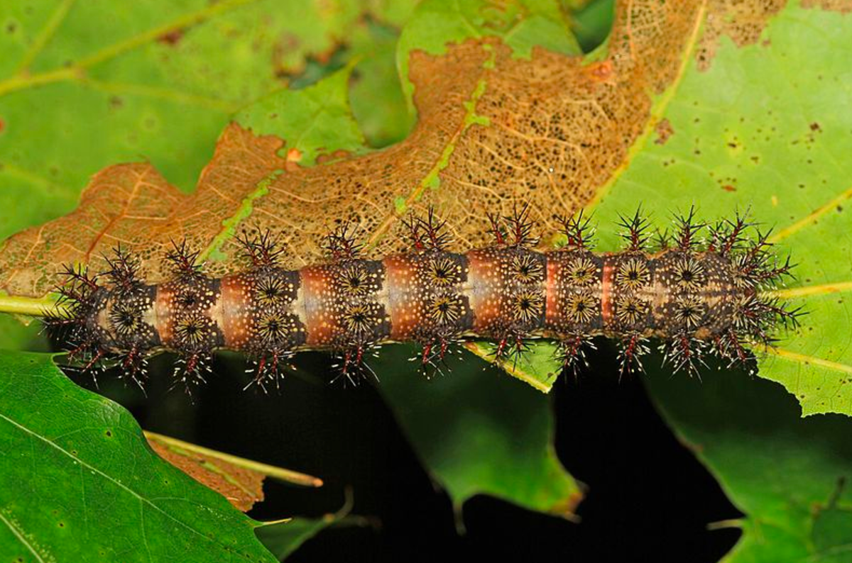 The spines of the buck moth caterpillar can give you and your pet a nasty sting