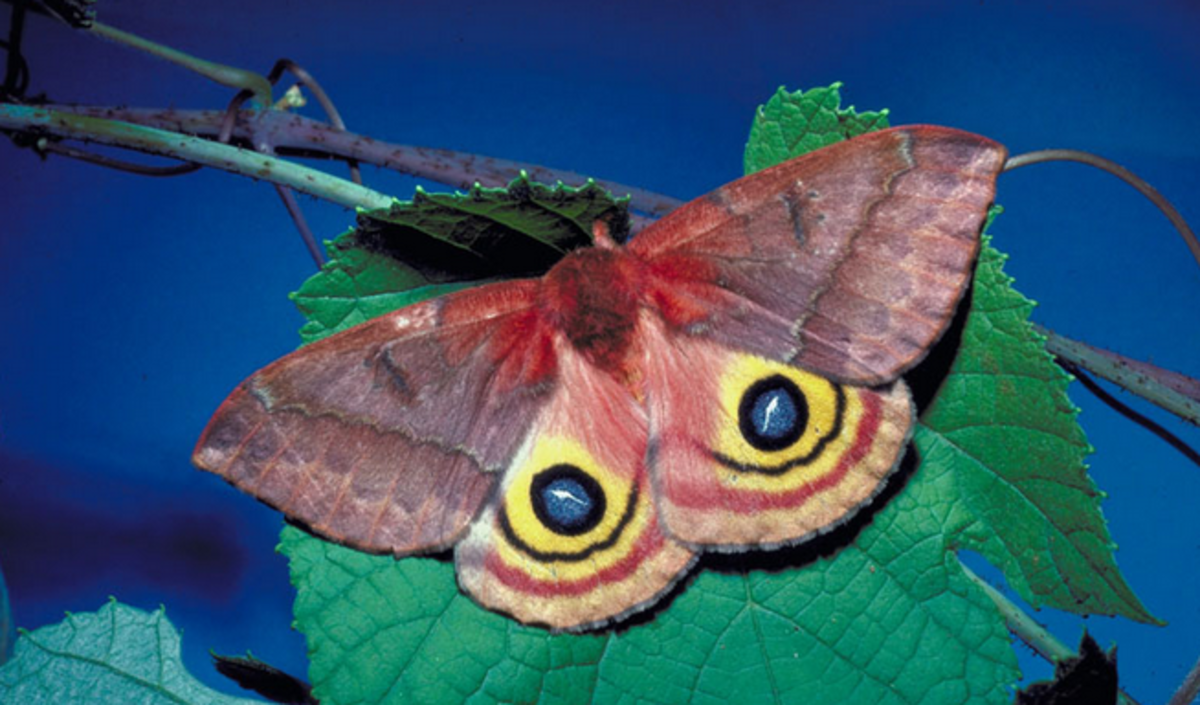 The amazing false eyespots of the adult Io moth.