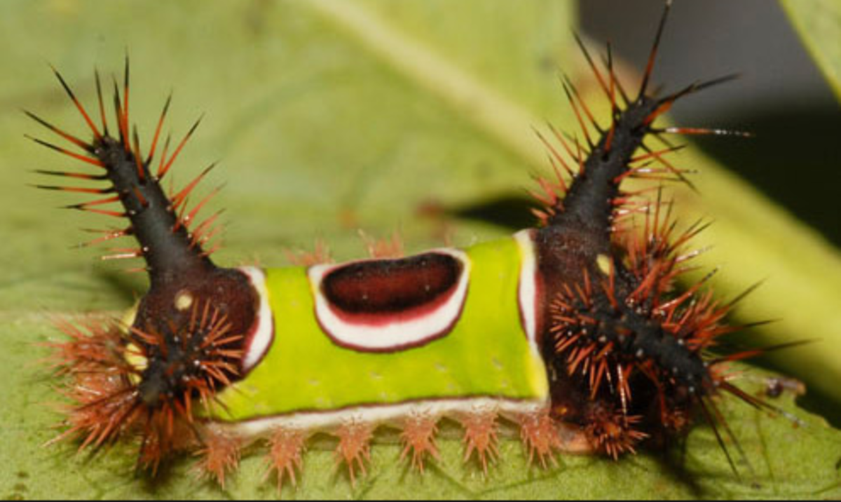The Remarkable Saddleback Caterpillar