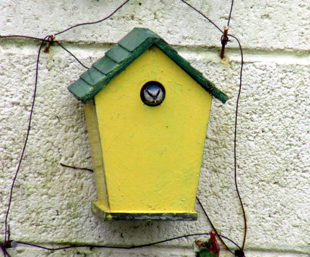 A Blue Tit lays her eggs in a nest box in my garden