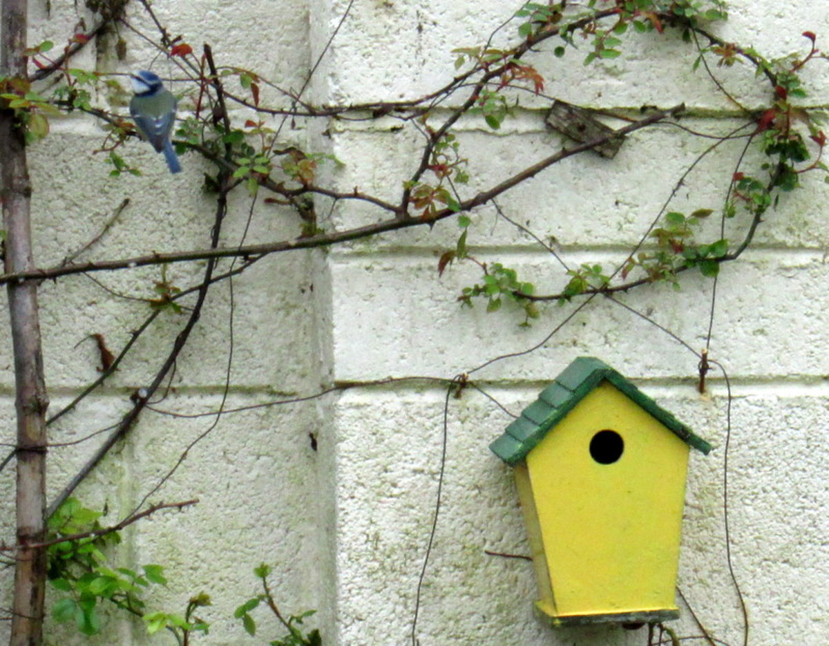 Blue Tit birds nesting in the Garden