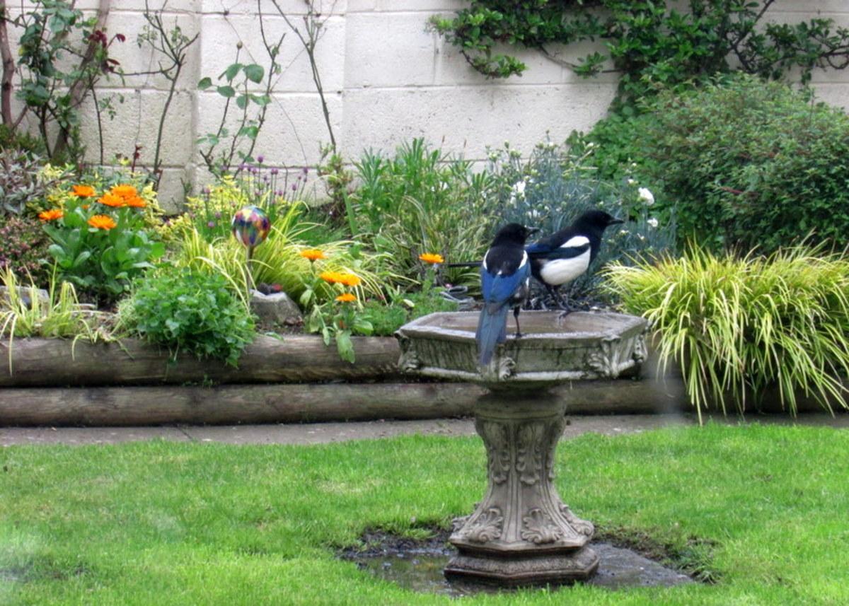 Birds in my garden having a bath