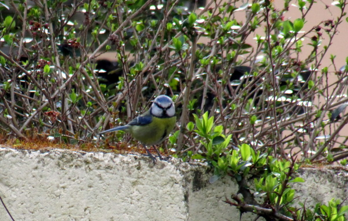 Blue Tit Nesting in the Garden