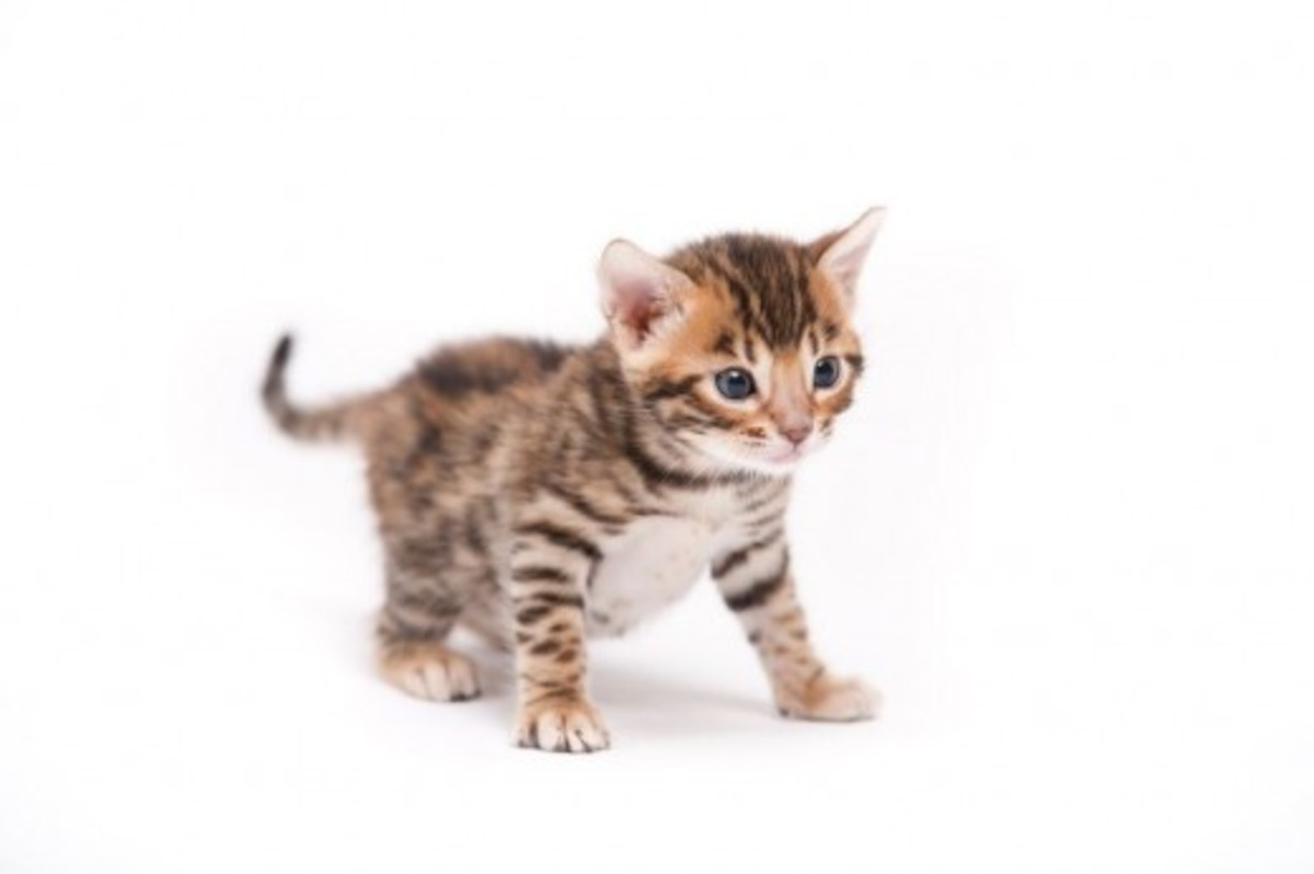 the-wildly-energetic-bengal-cat