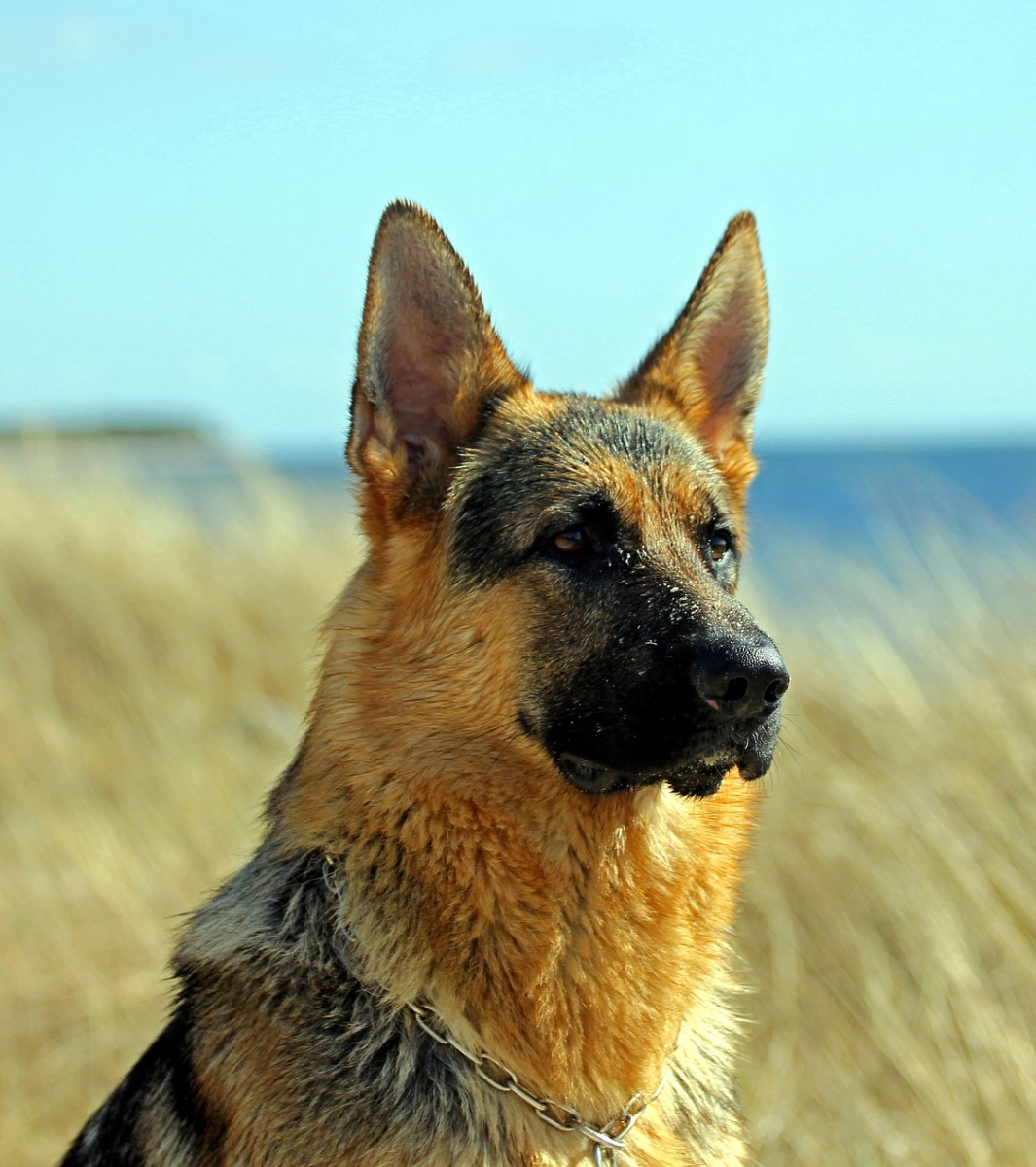 combating-lice-or-fleas-on-german-shepherd-dogs