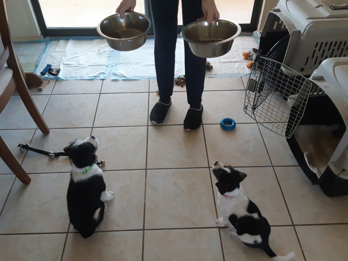 """Seven-week old puppies trained to say """"please"""" by sitting nicely for their meals."""