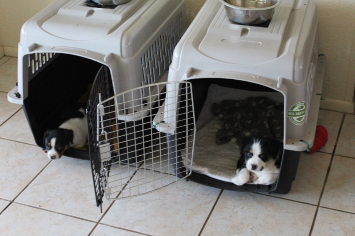 """At seven weeks, puppies object to being crated even if briefly. Lots of positive associations need to be made with the crate at this age. I like to keep the crates open so puppies voluntarily """"crate themselves."""""""