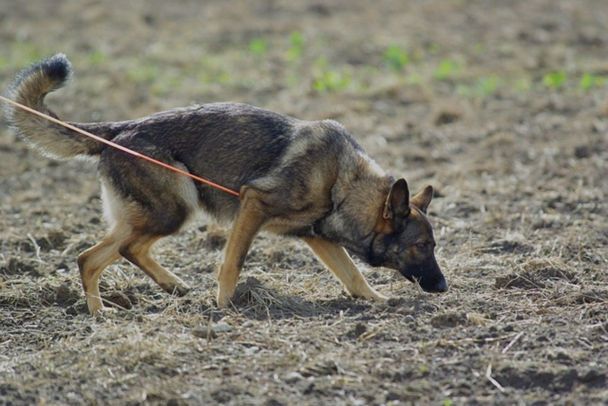 the-czech-german-shepherd-dog